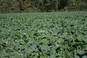 Picture of turnips Van Buren county 355 acres farm for sale