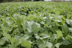 brassica food plot improves wildlife habitat