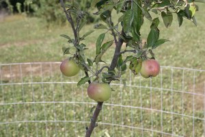 habitat enhancement in the form of apple trees