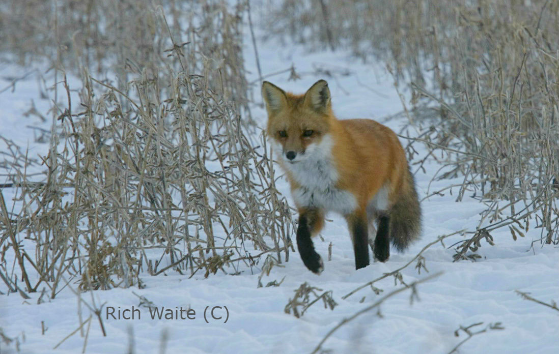 Picture of a red fox.