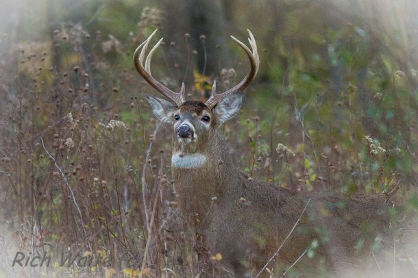 Picture of an Iowa whitetail buck.