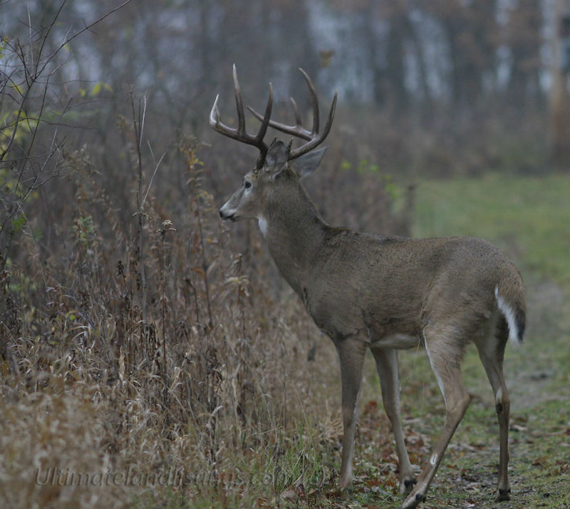 Whitetail buck in Iowa.