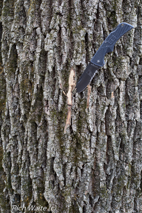 Picture of Iowa ash tree with inner bark exposed.