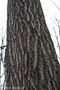 Picture of a red oak in Iowa.