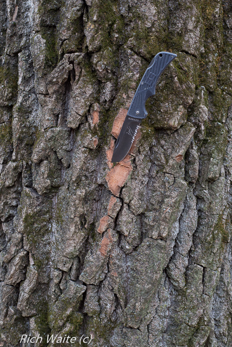 Picture of Iowa cottonwood tree with inner bark exposed for better Iowa winter tree identification.