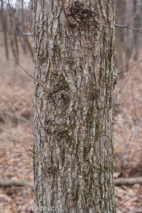 Picture of elm trunk.