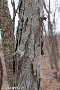 Picture of a shagbark hickory tree in Iowa. The bark makes this one easy for Iowa wintertime tree identification.