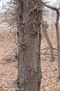 Picture of honey locust tree in Iowa.