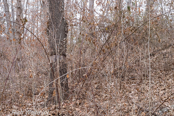A picture of an Iowa woodland showing crop tree release and the thicker understory environment that often happens as a result of this sort of timber stand improvement procedure.