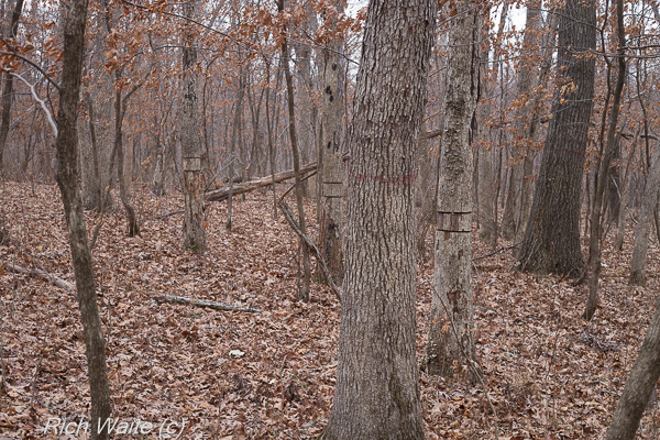 A look at an iowa woodland showing timber stand improvement and crop tree marks.