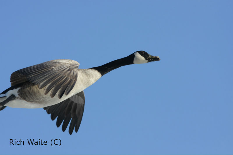 Picrture of a canada goose in flight.