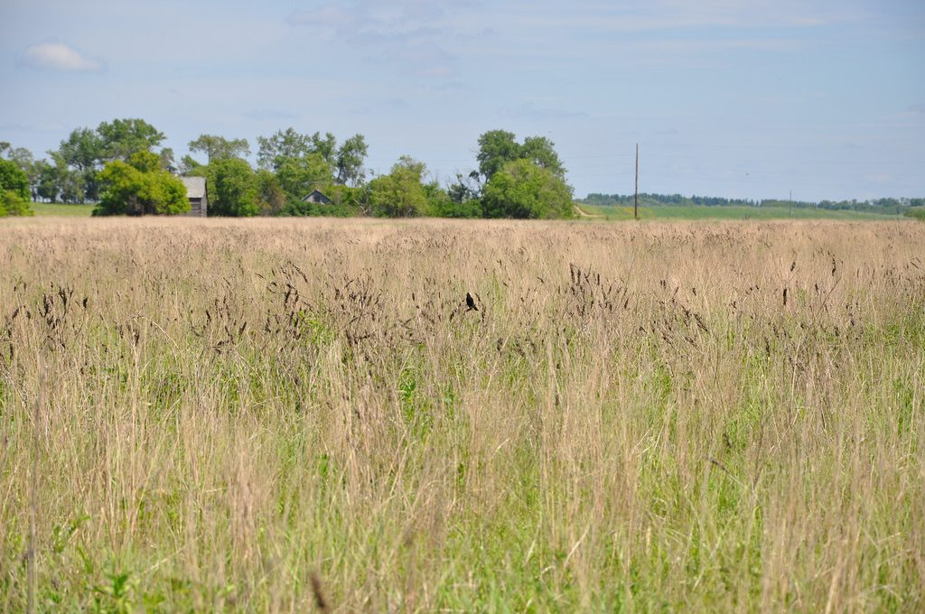 picture of a grass field. Cost-share dollars are available at different times to plant CRP fields of native grasses.