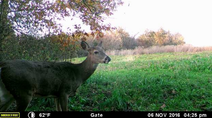 Picture of an Iowa whitetail doe taken with the help of the Moultrie wireless field modem.